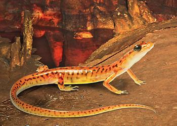 Salamander, Cave - Postcard