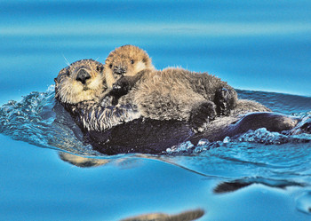 Otter Sea and Pup Postcard