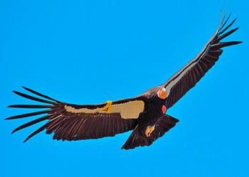 Condor American - Postcard