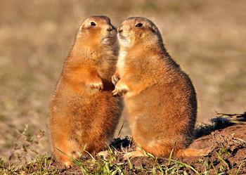 Prairie Dogs - Postcard
