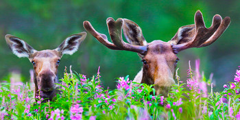 Moose in Fireweed Long Card