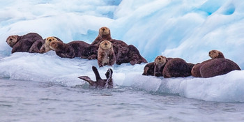 Seals and Otters on floating sea ice Long Card