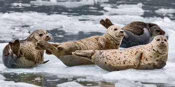 Seals and Otters on floating sea ice - LongCard