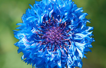 Cornflower Mini Card