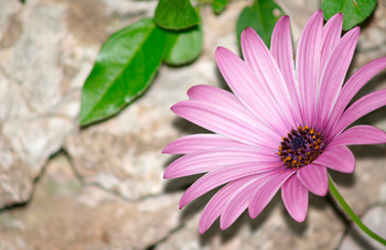 African Daisy - Mini Card
