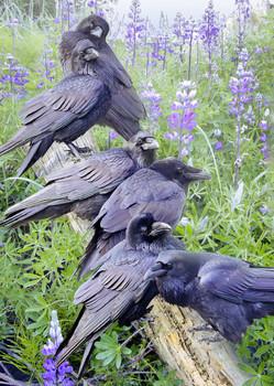 Raven Rendezvous Postcard