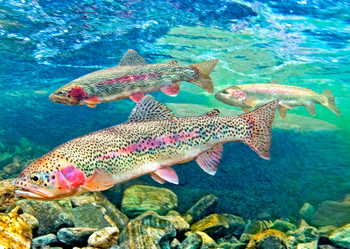 Trout, Rainbow - Postcard