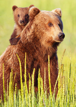 Bear, Brown and cub - Postcard