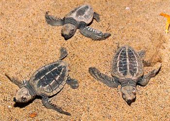 Turtle, Ridley - Postcard