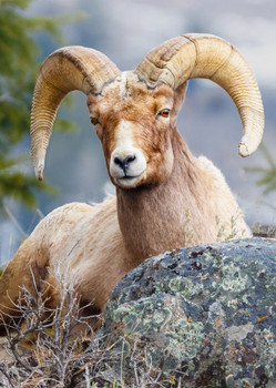 Sheep, Bighorn 2 - Postcard