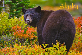 Bear, Black 2 - Magnet Alaska
