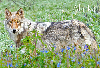 Wolf and Flowers Magnet Alaska