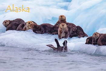 Seals and Otters on Ice - Magnet Alaska