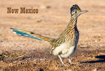Roadrunner Magnet New Mexico