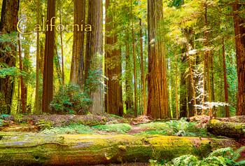Redwoods Nat Park - Magnet