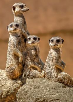 Meerkats - Postcard