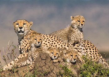 Cheetahs - Postcard
