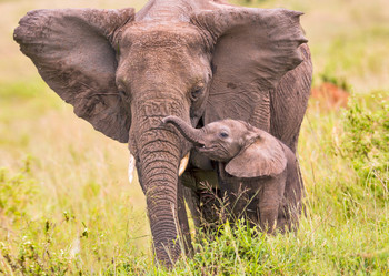Elephant Mother And Calf - Postcard