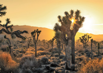 Joshua Tree Sunset - Postcard