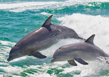 Dolphin pair - Postcard