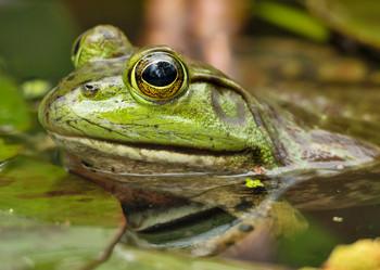 Frog, Bullfrog - Postcard