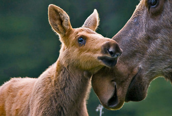 Moose and Calf - Magnet