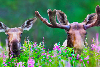 Moose in Fireweed - Magnet