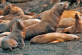 Sea Lion, Steller - Magnet