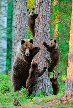 Bear Grizzly Family Magnet no name drop