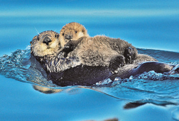 Sea Otter and Pup Magnet