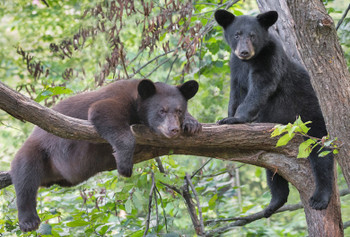 Bear, Black in tree - Magnet
