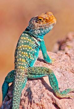 Lizard, Collared - Magnet