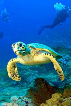 Turtle, Hawksbill - Magnet