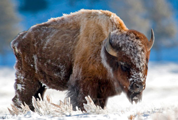 Bison in the snow - Magnet