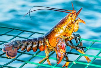 Lobster - Magnet