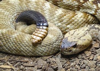 Snake, Black-tailed Rattlesnake - Postcard