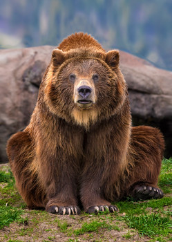 Bear, Grizzly - Postcard