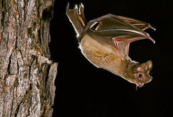 Bat, Brazilian Free-Tailed MAG