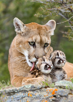 Cougar mother and cubs - Postcard