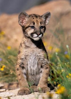 Cougar Cub - Postcard