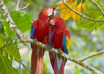 Macaw Scarlet preening - Postcard