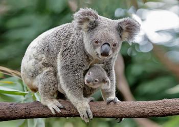 Koala Mother and Joey - Postcard