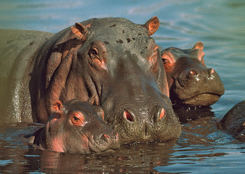 Hippopotamus Family - Postcard