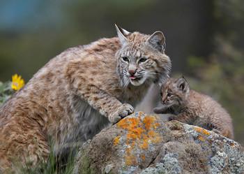 Bobcat with Kitten - Postcard