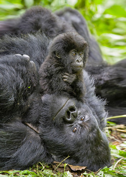 Gorilla with Youngster - Postcard