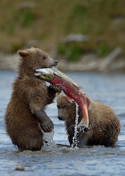 Bear Cubs catching Salmon - Postcard