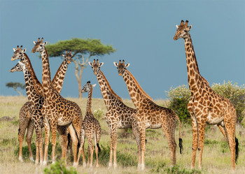 Giraffes on the Savannah - Postcard