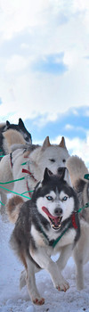 Sled dogs Bookmark