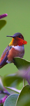Hummingbird Rufous Bookmark