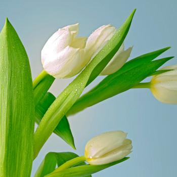 Tulips #3 Maxi Card